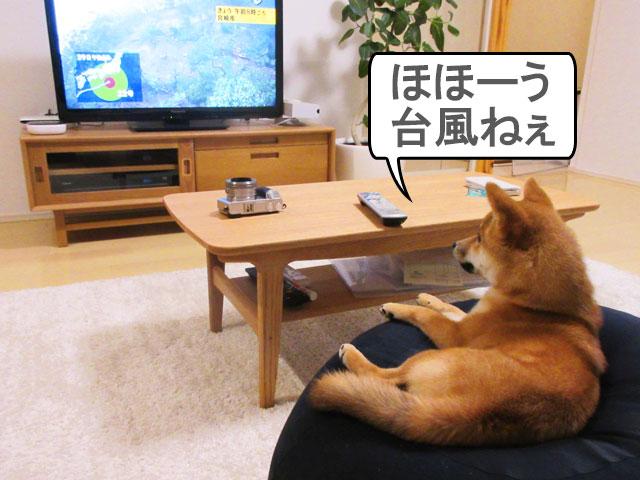 柴犬コマリ 台風情報