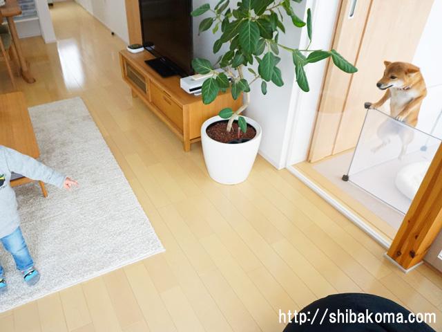 柴犬コマリ 忍者