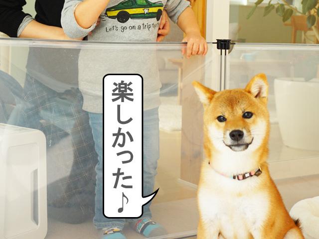 柴犬コマリ 記念撮影