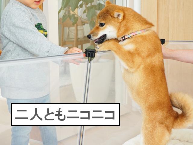 柴犬コマリ ニコニコ