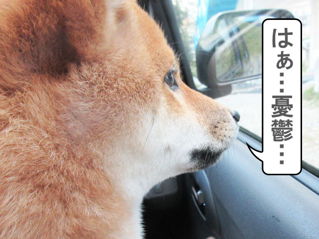 柴犬コマリ 車酔い