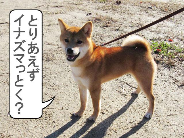 柴犬コマリ イナズマ