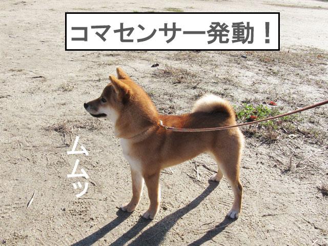 柴犬コマリ センサー