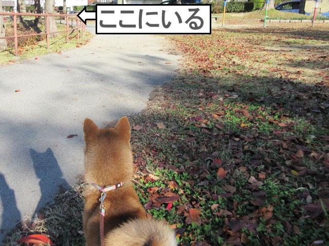柴犬コマリ ラブラドール