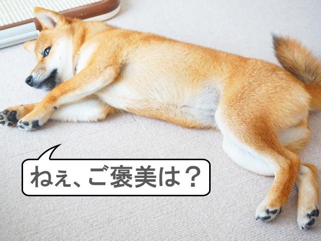 柴犬コマリ コマンド ゴロン