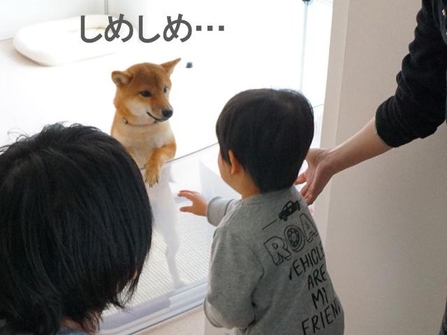 柴犬コマリ しめしめ