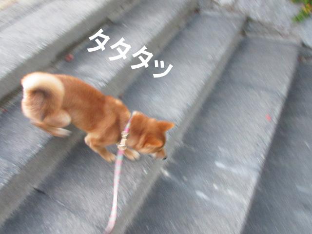 柴犬コマリ 階段