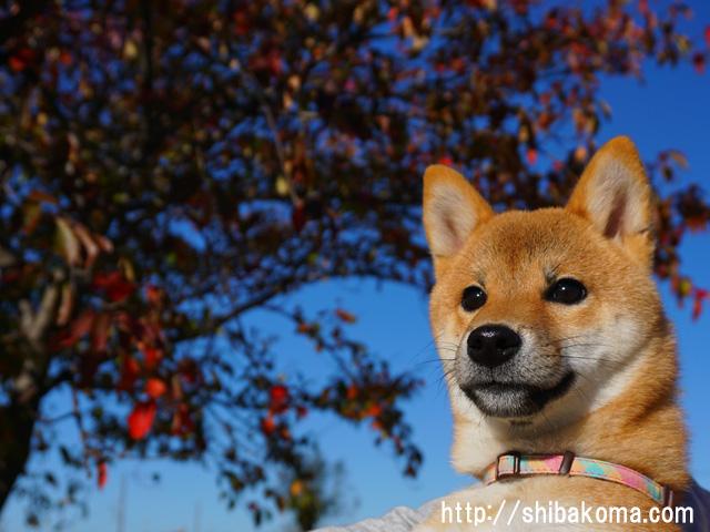 柴犬コマリ 柴犬 紅葉