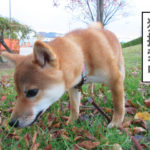柴犬コマリ 猫