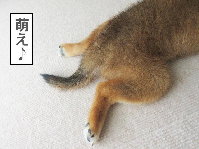 柴犬コマリ 萌え