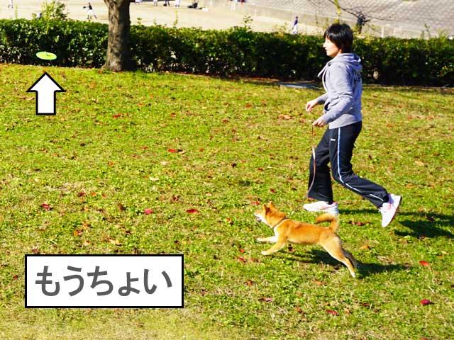 柴犬コマリ フリスビー