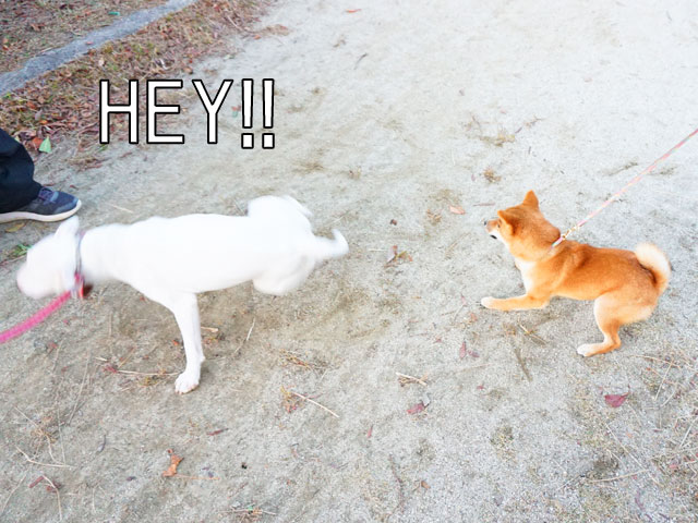 柴犬コマリ ブルテリア ブレイクダンス