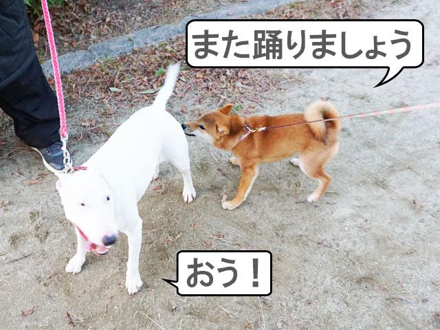 柴犬コマリ ブルテリア