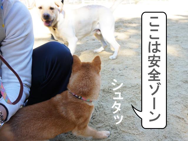 柴犬 柴犬コマリ ドッグランデビュー