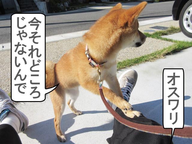 柴犬コマリ コマンド