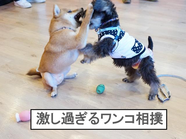 柴犬 柴犬コマリ パピーパーティー