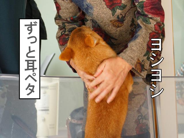 柴犬 柴犬コマリ 耳ペタ
