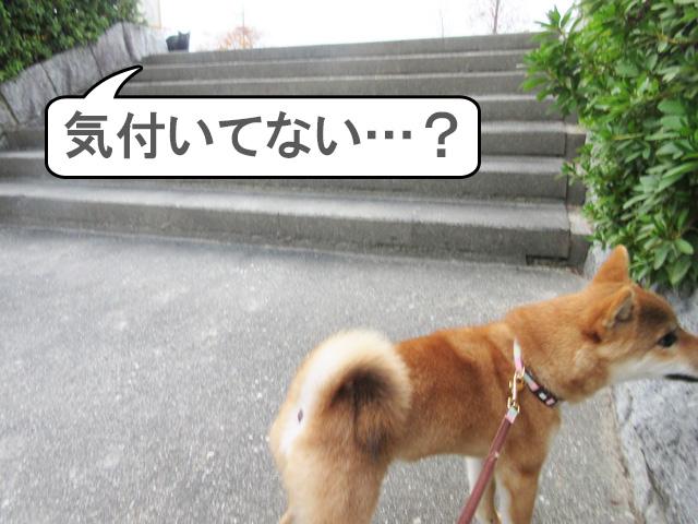 柴犬 柴犬コマリ 野良猫