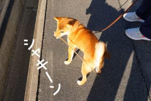 柴犬コマリ ひのきのぼう