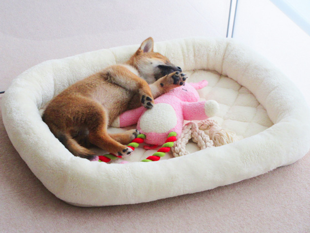 柴犬コマリ モリリン オールシーズンベッド