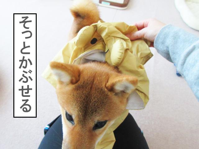 柴犬コマリ カッパ 着せ方