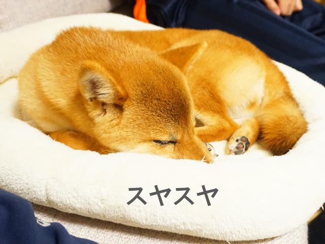 柴犬コマリ 寝顔