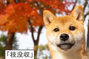 柴犬コマリ 紅葉