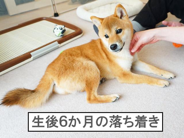 柴犬コマリ 生後6か月