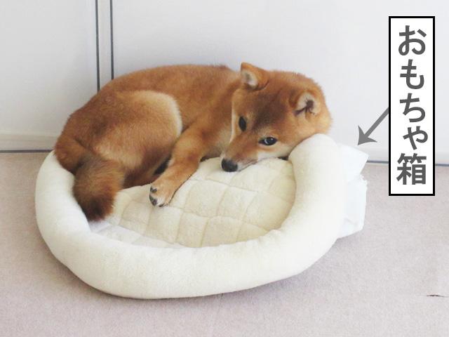 柴犬コマリ ストレス