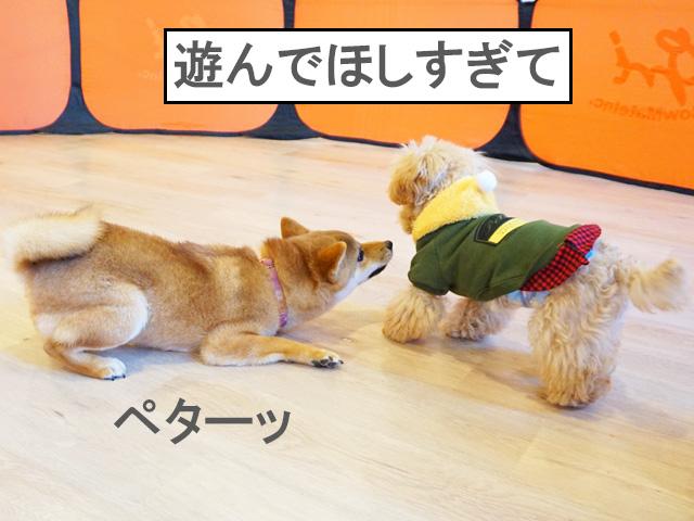 柴犬コマリ パピーパーティー