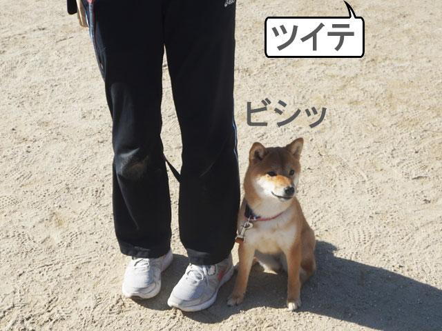 柴犬コマリ 散歩レッスン