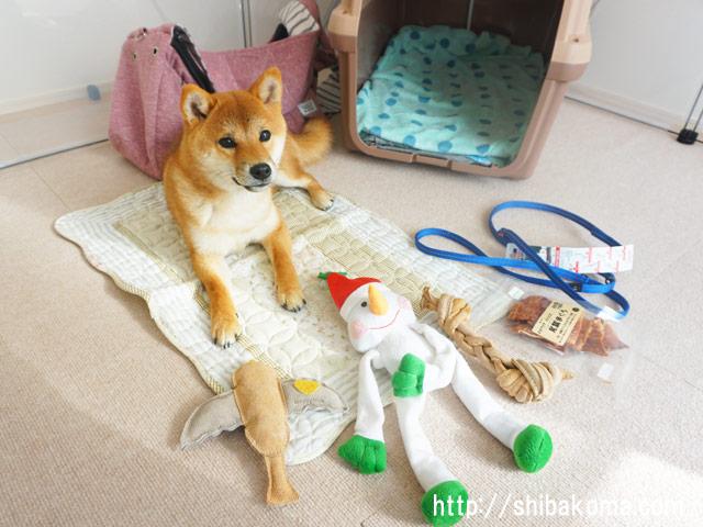 柴犬コマリ クリスマス