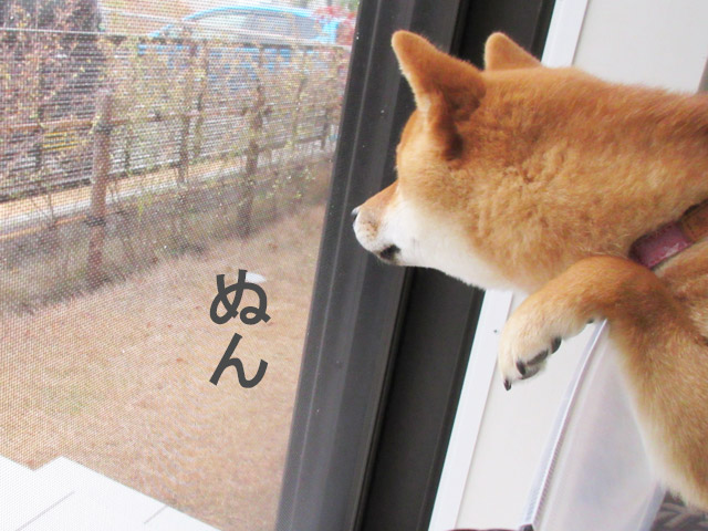 柴犬コマリ 初雪