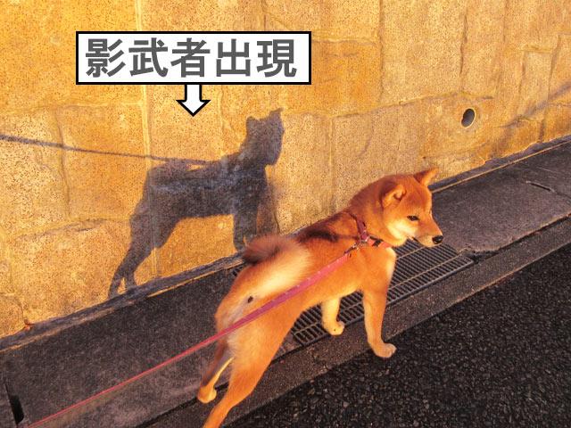 柴犬コマリ 影武者