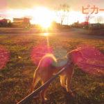 柴犬コマリ 夕日