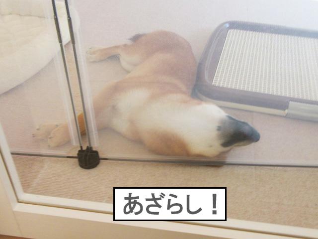 柴犬コマリ あざらし