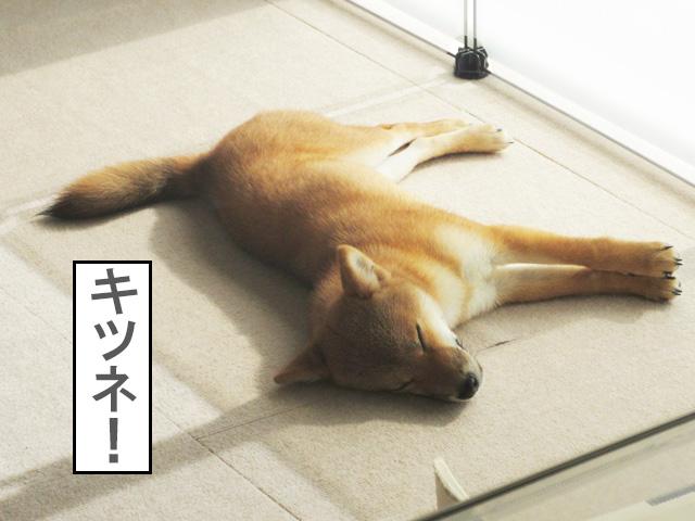 柴犬コマリ キツネ