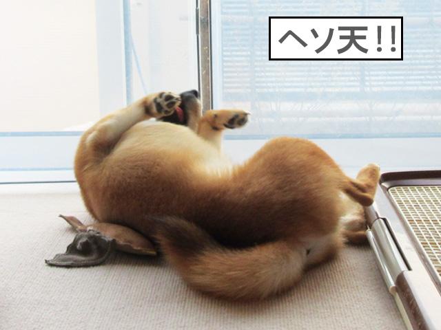 柴犬コマリ ヘソ天