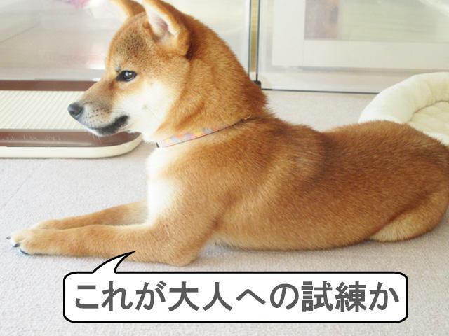 柴犬コマリ 歯の生え変わり