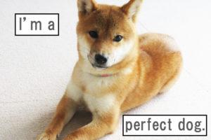 柴犬コマリ パーフェクトヒューマン