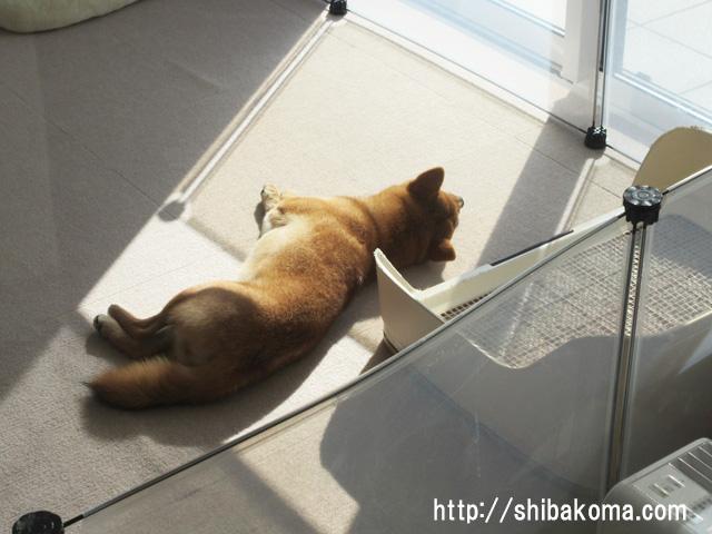 柴犬コマリ 日向ぼっこ