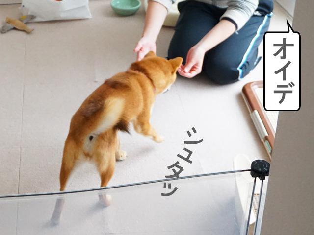 柴犬コマリ オイデ