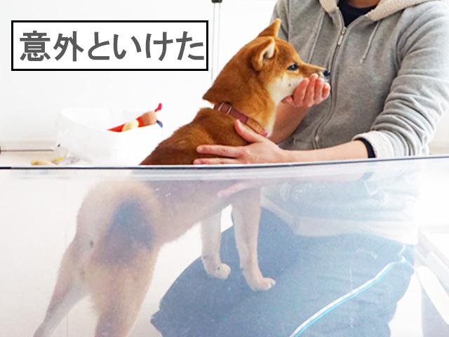 柴犬コマリ 歯磨き