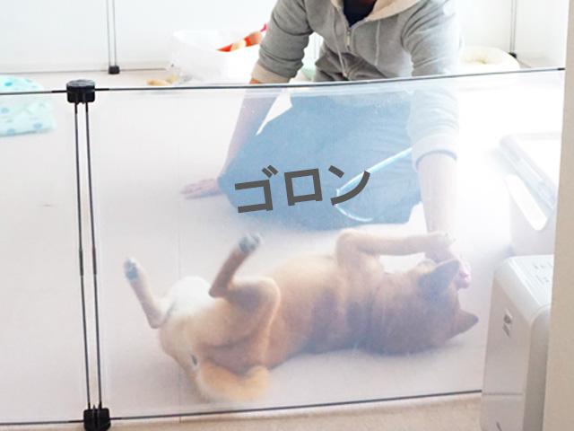 柴犬コマリ ゴロン