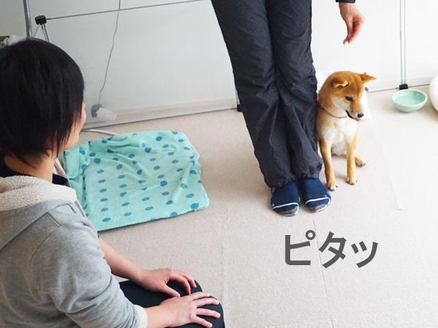 柴犬コマリ ツイテ