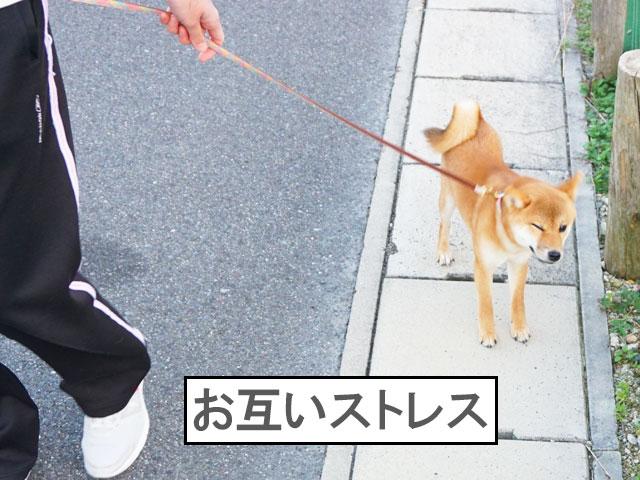 柴犬コマリ 引っ張り癖
