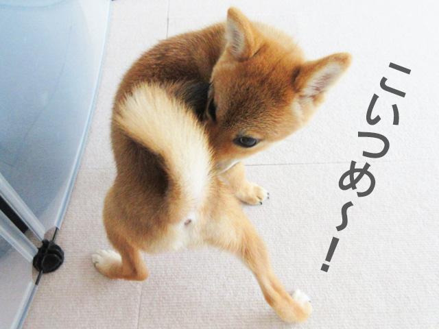 柴犬コマリ 犬語レッスン帖