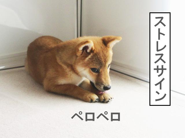 柴犬コマリ うちの犬のキモチがよくわかる!