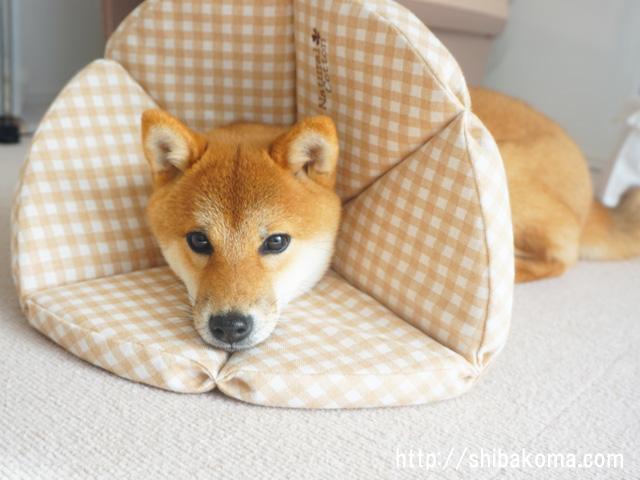 柴犬コマリ ポンデライオン