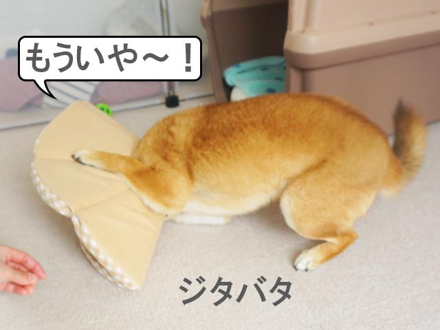 柴犬コマリ エリザベスカラー